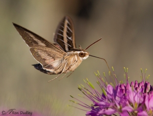 white-lined-sphinx-moth-0594-ron-dudley